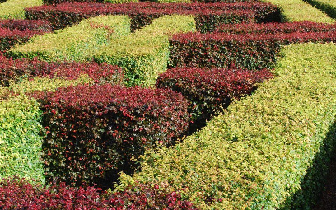 Geliebte Heckenpflanze – die Rotbuche